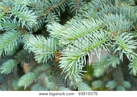 Close Up Of Fir Tree Needles