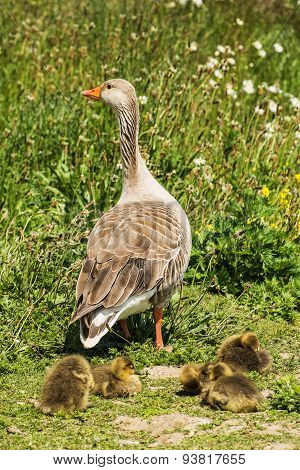 greylag goslings with adult goose