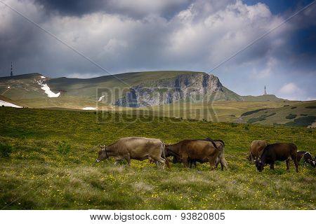 Bucegi mountain plateau, part of Carpathian mountains. Cows in top meadow mountain.