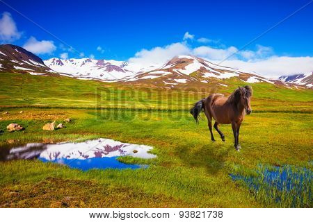 Bay Icelandic horse grazing in the meadow. Summer Iceland. Small lake surrounded by green fields