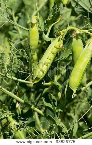 Closeup Authentic Of Mature Pods Of Peas Growing In Garden Before The Harvest