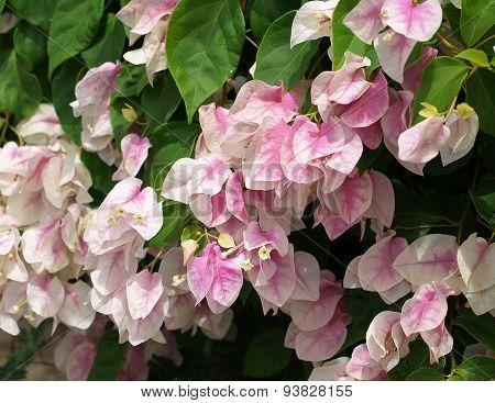 Pink White Bougainvillea Flowers