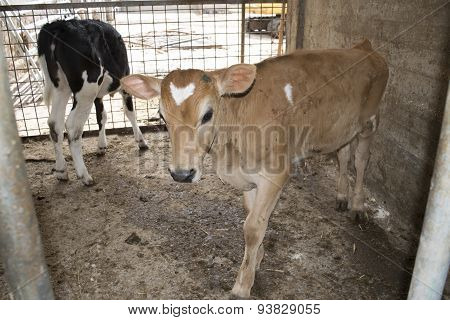 Dairy Veal