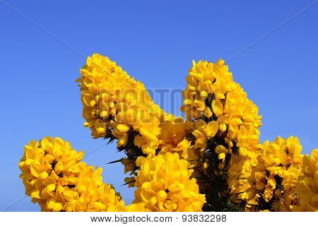 Blossoming Yellow Ulex Gorse Flower Bush With Blue Sky