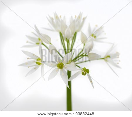 Wild Bear Garlic Flower Isolated On White