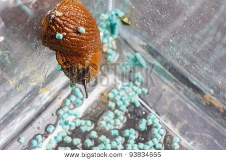 Blue Slug Pellets On Ground Of A Glass Container And Creeping Red Slug
