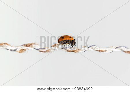 shiny ladybug walking on string in front of white background