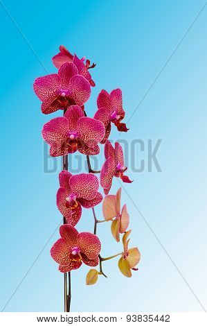 Natural Orchid Beauty Bloom Isolated On Blue Background. Phalaenopsis Orchid