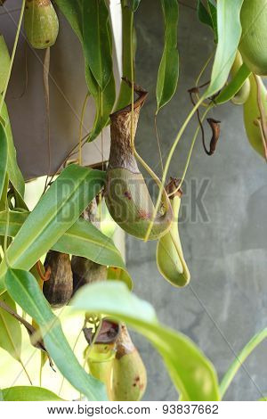 Nepenthes Ampullaria With The Nature