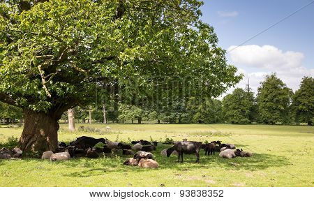 Sheep sheltering in the shade of a tree