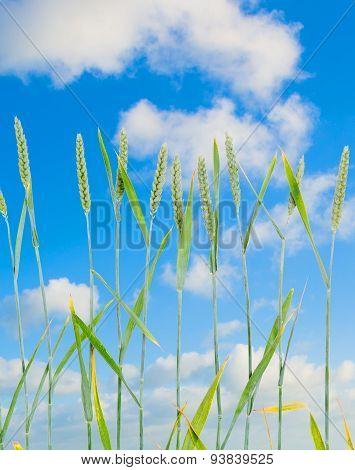 Line Of Green Wheat- Grainin Front Of Blue Sky