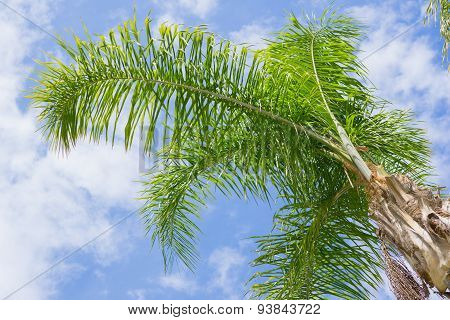 Palm Tree And Scattered Clouds