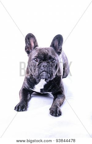 Male French Bulldog On White