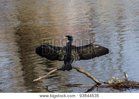 Cormorant with outstretched wings