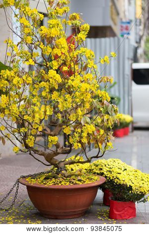 Hoa Mai tree (Ochna Integerrima) in saigon street for traditional lunar new year in Vietnam