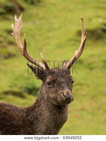 Fallow Deer Antliers