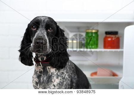 Cute Russian Spaniel near fridge in kitchen
