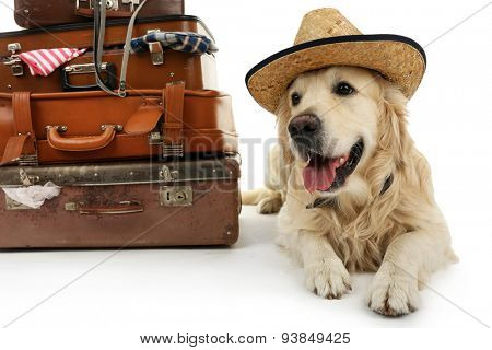 Cute Labrador in hat with suitcases isolated on white