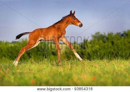 Bay colt in the meadow