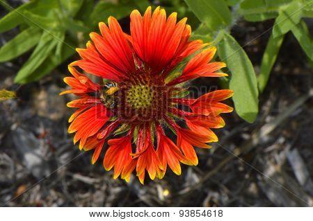 Blanket flower Latin name gillardia pulchella with a bee