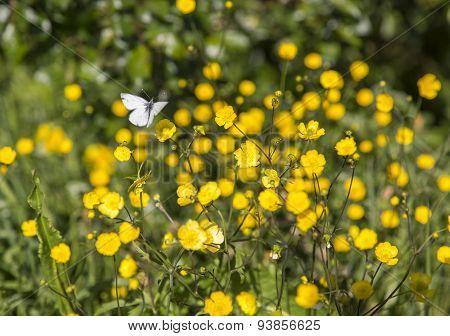 Butterfly On Buttercup Flower