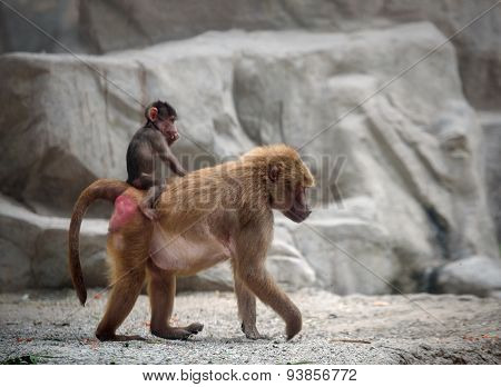 Baby Hamadryas Baboon And Its Mom