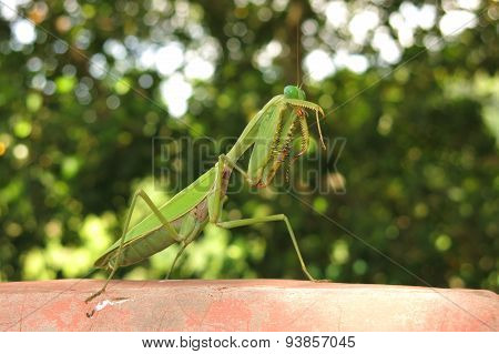 green praying mantis / Mantis religiosa
