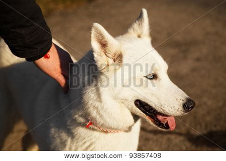 Man Holds His Siberian Husky