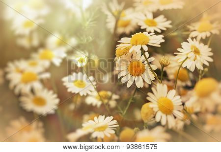 Beautiful nature - daisy flower (wild chamomile)
