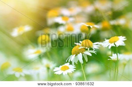 Chamomile (wild chamomile) - daisy flower