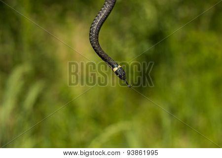Long snake