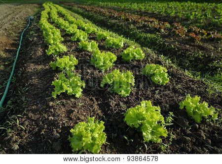 Market Garden Lettuce Growing