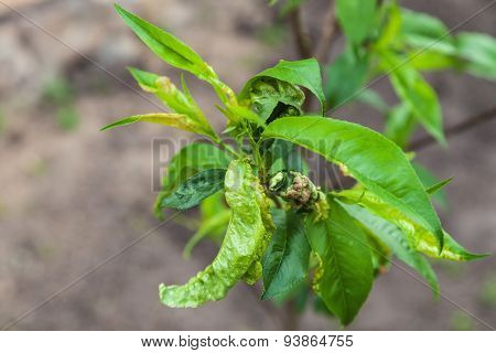 Peach Leaf Curl,taphrina Deformans
