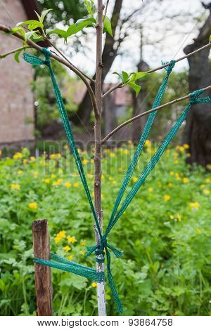 Garter Branches Of Fruit Trees