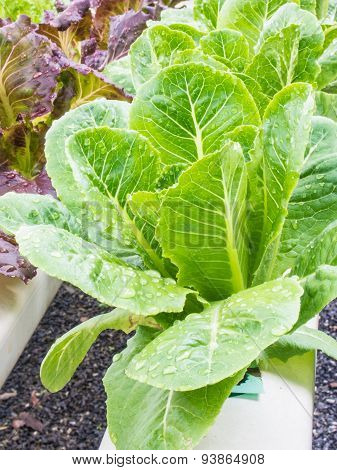 Organic Hydrophonic Vegetable In Backyard.
