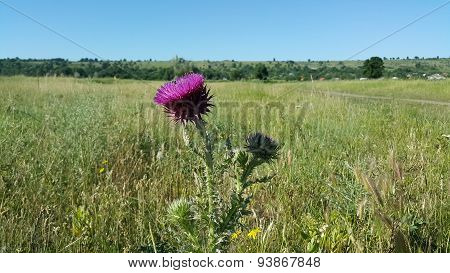 Purple coltsfoot flower in a meadow