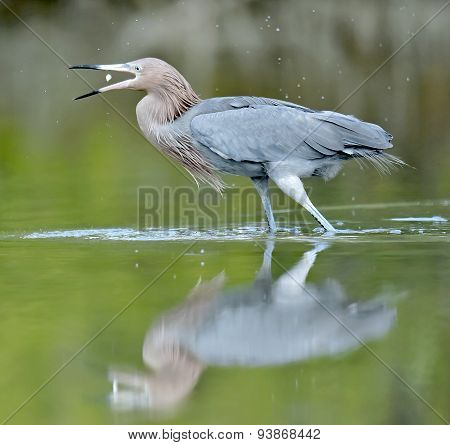The little blue heron  fishing.