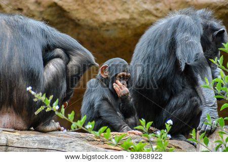 Black Chimpanzee Mammal Ape