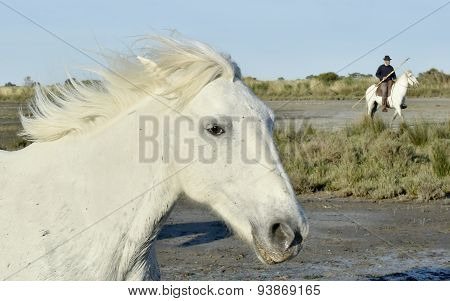 White Camargue Horses run