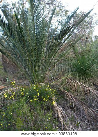 Zamia Palm Among Blackboys With Yellow Wildflowers