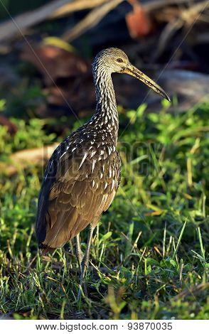The Limpkin (aramus Guarauna)