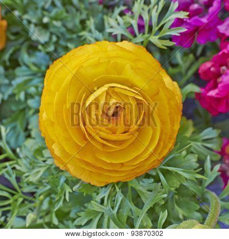 orange buttercup flower close-up