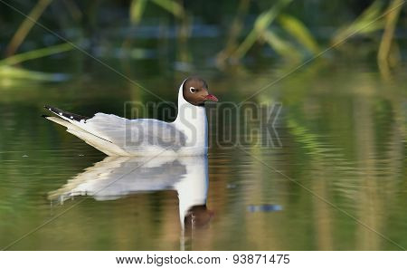 Black-headed Gull (larus Ridibundus)  Sitting Down At The Water