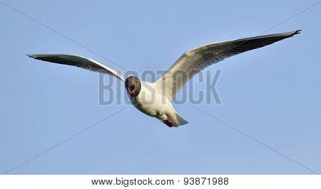 Black-headed Gull (larus Ridibundus) In Flight