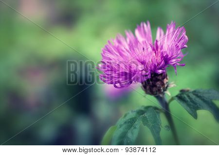 Flower Of Thistle