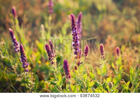 Lavender Flowers In A Meadow