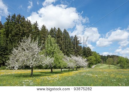Blooming apple trees in rural landscape