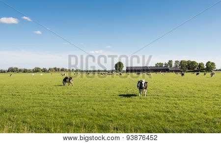Curiously Looking Cow In The Sunny Meadow