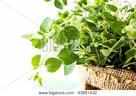 Fresh Oregano In A Flowerpot