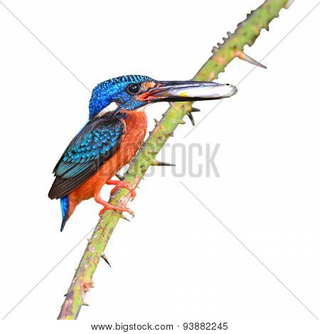 Blue-eared Kingfisher Bird